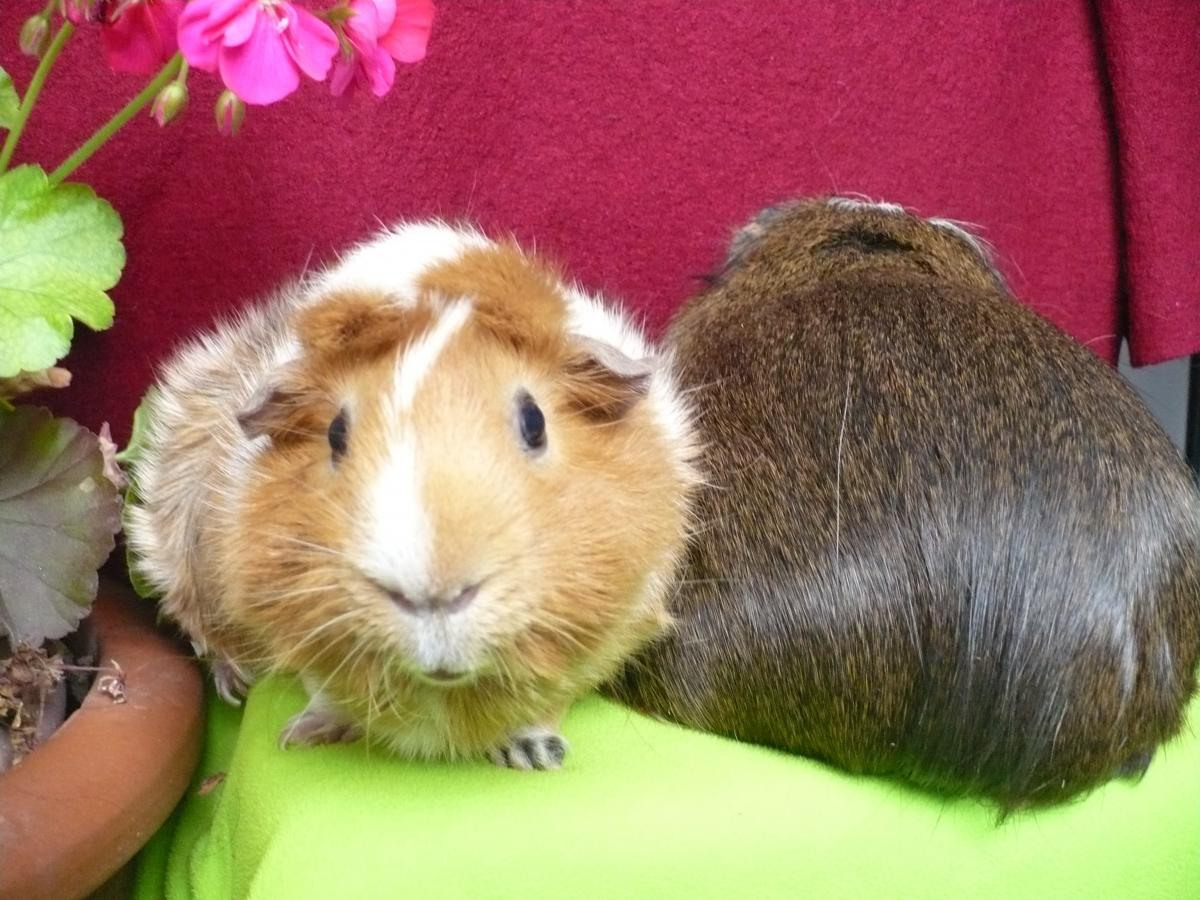 guinea pig and flower