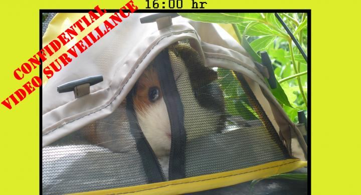 guinea pig in little tent