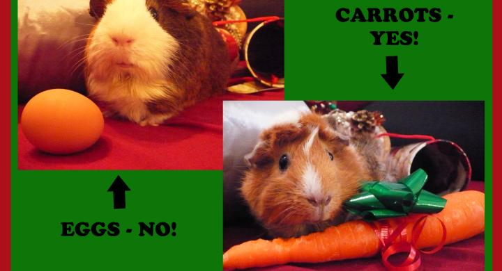 two guinea pigs with gifts of egg and carrot