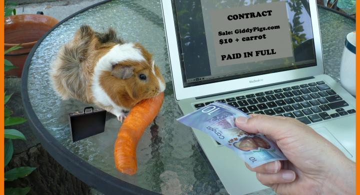 guinea pig eating carrot with computer nearby & $10