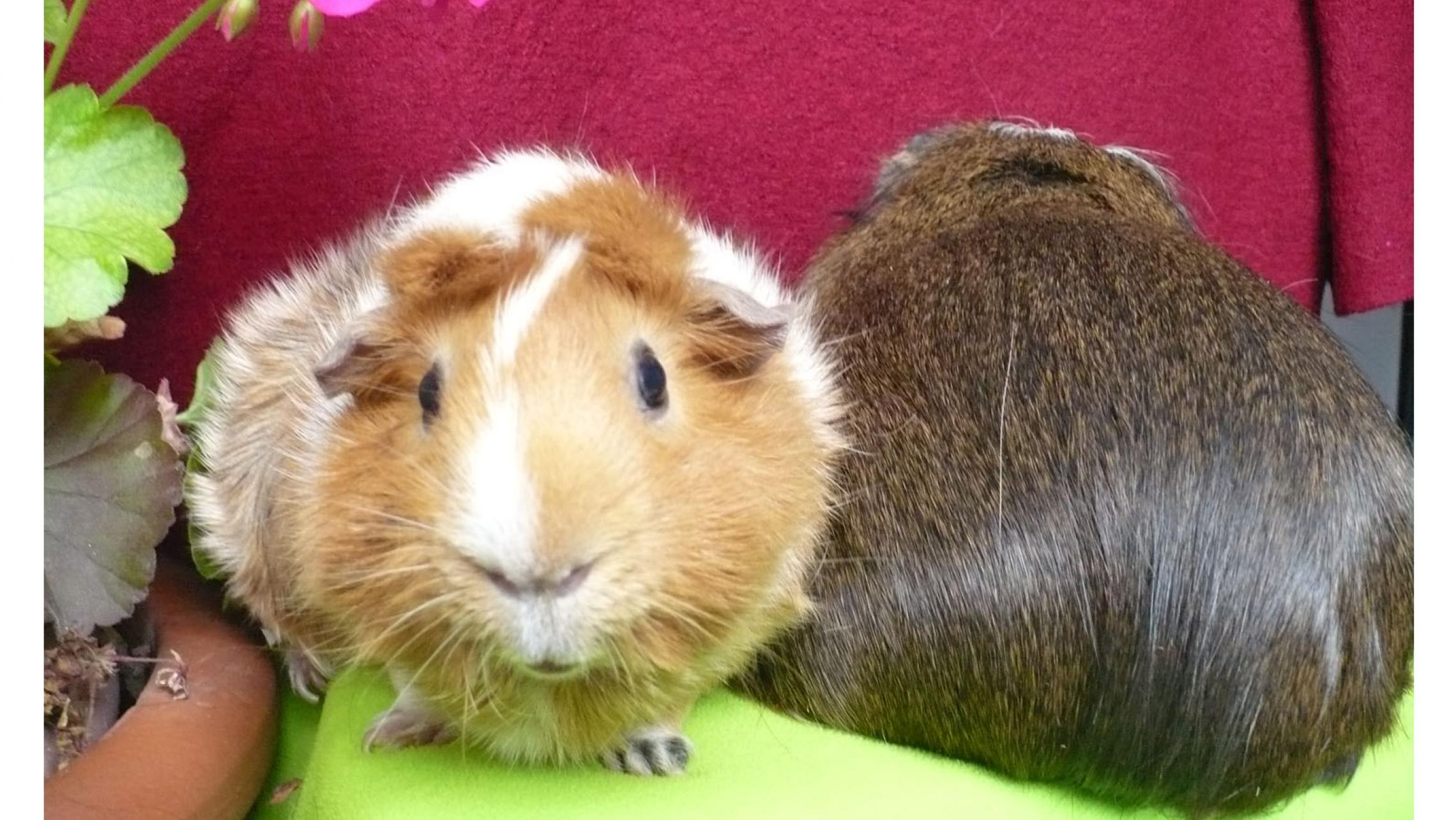 two guinea pigs facing opposite directioins